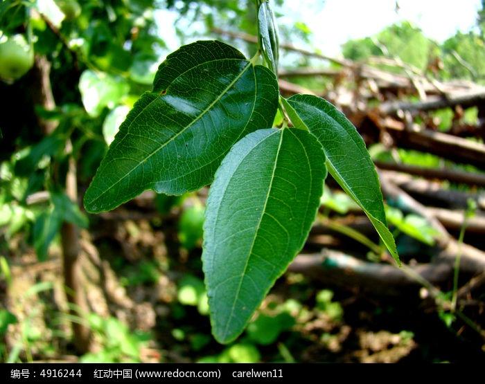 三片枣的叶子图片