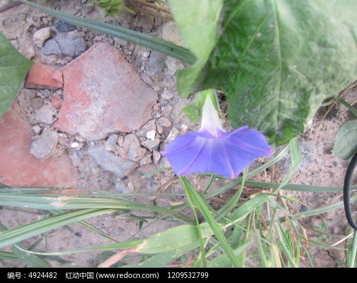 原创摄影图 动物植物 花卉花草 生命力顽强的蓝色花朵  请您分享: 红