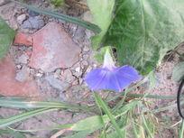 生命力顽强的蓝色花朵