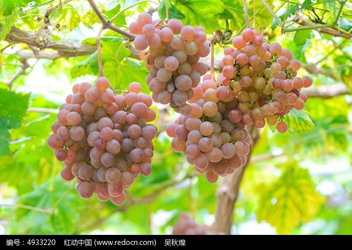 原创摄影图 动物植物 农作物 水果  请您分享: 红动网提供农作物精美