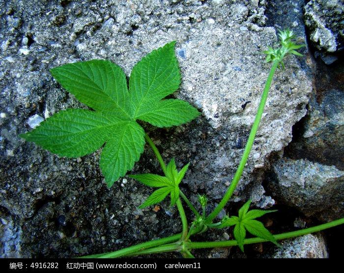 原创摄影图 动物植物 花卉花草 > 喜攀绕石头的绿叶图片  素材编号