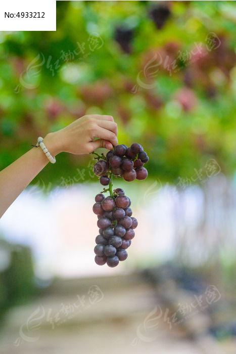 原创摄影图 动物植物 农作物 一串葡萄