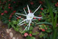 白色鲜花绽放