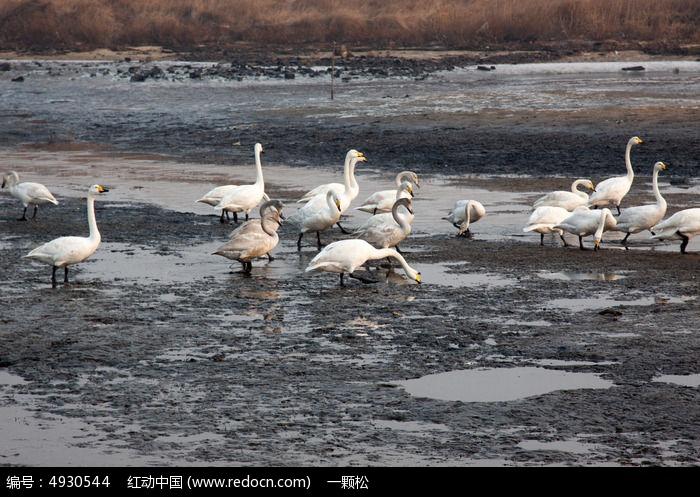 原创摄影图 动物植物 空中动物 海边滩涂上的天鹅  请您分享: 素材
