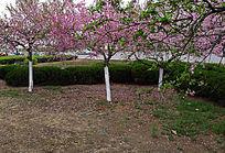 绿化带中的桃花盛开