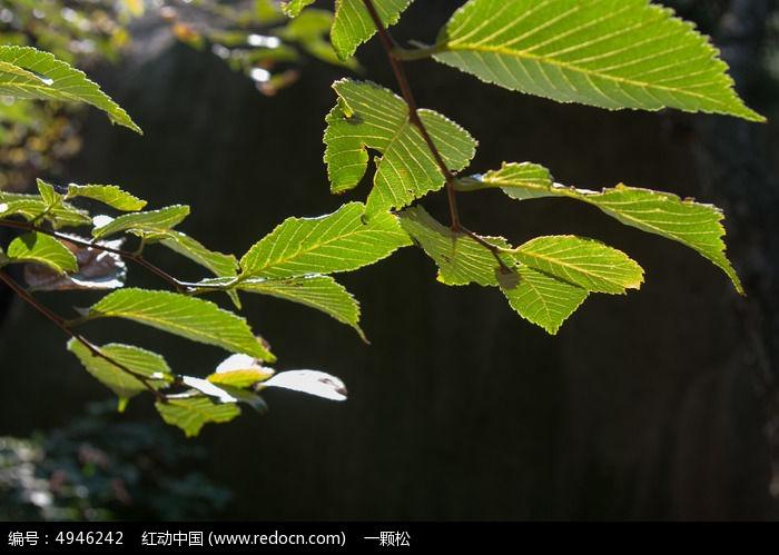 逆光中的榆树叶片图片,高清大图_树木枝叶素材