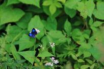 翩翩起舞的蓝色蝴蝶