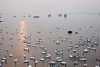 日出时港湾中的一大群天鹅