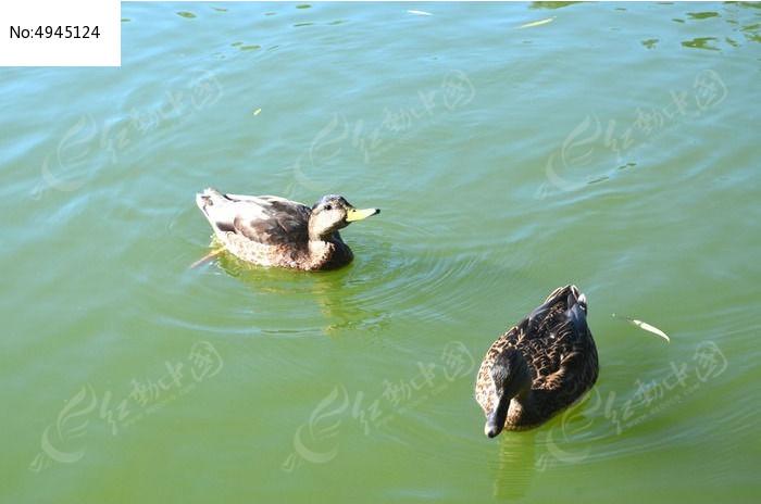 水鸭子图片,高清大图_水中动物素材