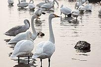 水中安静的天鹅