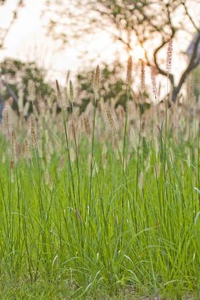 夕阳下的狗尾巴草
