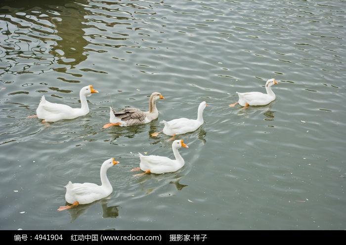 原创摄影图 动物植物 家禽家畜 游泳的鸭鹅  请您分享: 素材描述:红动