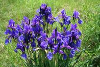 大兴安岭野生花卉 紫花鸢尾
