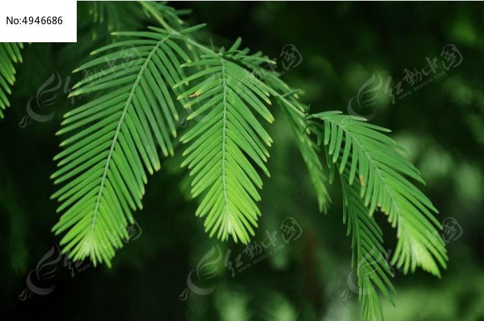 原创摄影图 动物植物 树木枝叶 杉树的叶子  请您分享: 红动网提供