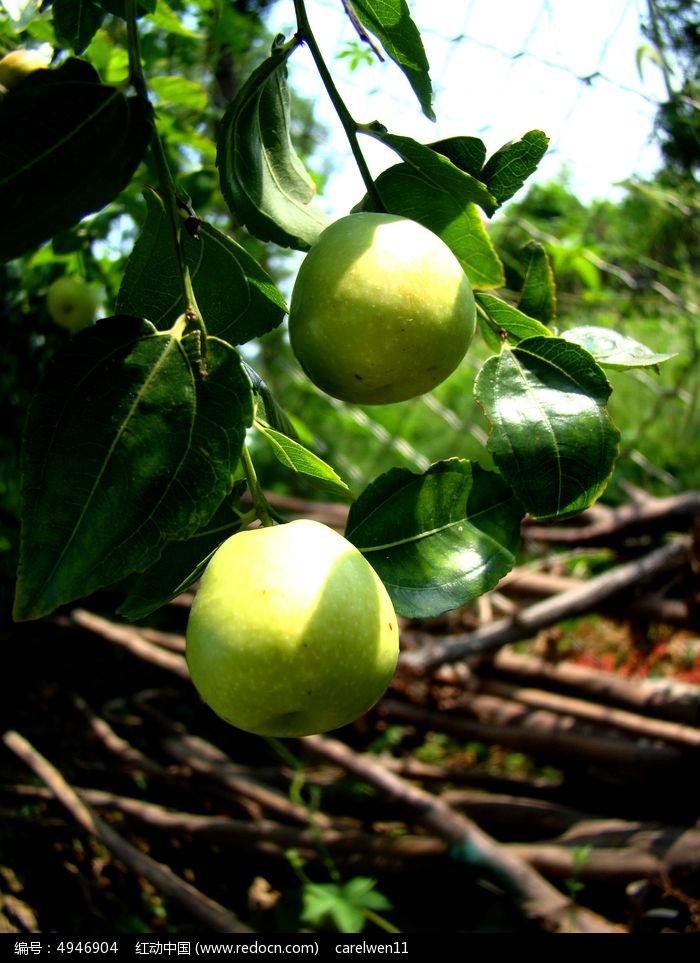 原创摄影图 动物植物 农作物 树上的水果  请您分享: 红动网提供农