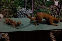 豹猫金猫标本