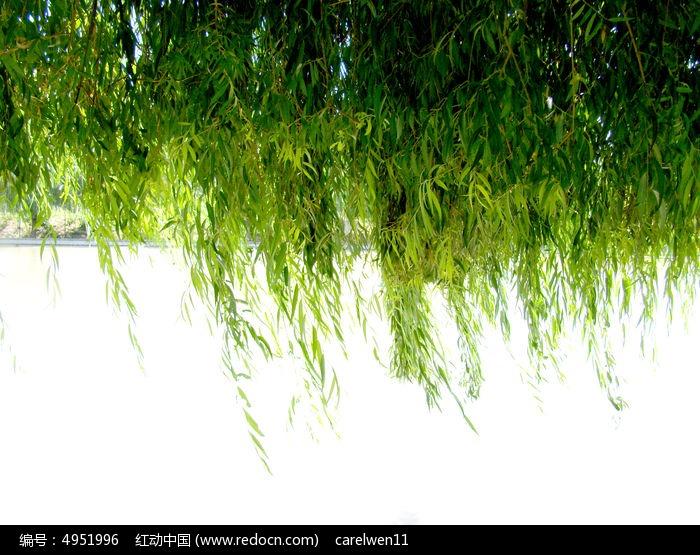 河上茂密的柳树枝叶图片