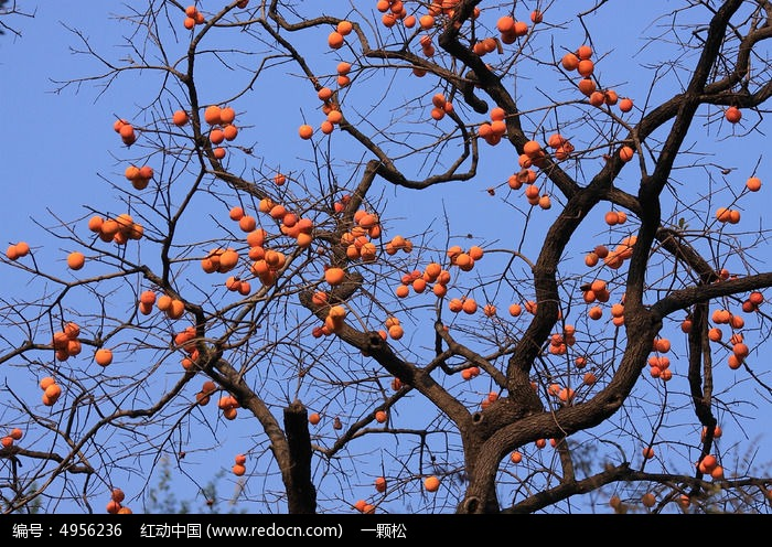 蓝天下果实累累的柿子树图片