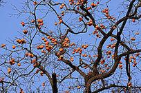 蓝天下果实累累的柿子树