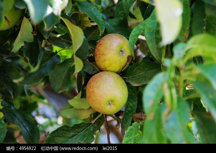 原创摄影图 动物植物 树木枝叶 树上的苹果  请您分享: 红动网提供