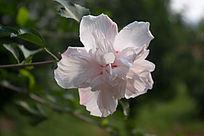 一朵开放的木槿花