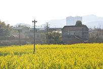 油菜花盛开的乡村风光