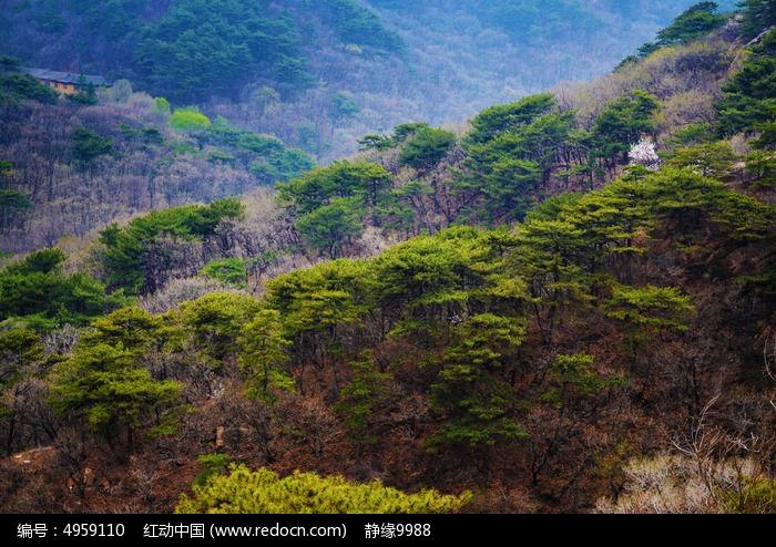 春天千山山上的松树群图片