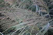 刮风后的芦苇叶图