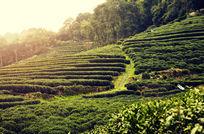 杭州梅家坞茶园的早晨