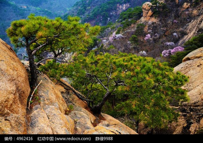 春天的松树图片