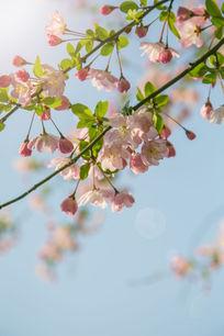 盛开的海棠花