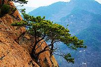 无量观几棵生长在峭壁石缝间的松树