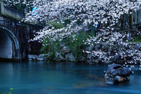中国杭州太子湾公园樱花