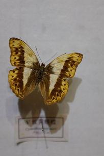 V纹黄峡蝶