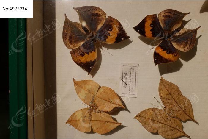 枯叶峡蝶图片,高清大图_动物植物素材