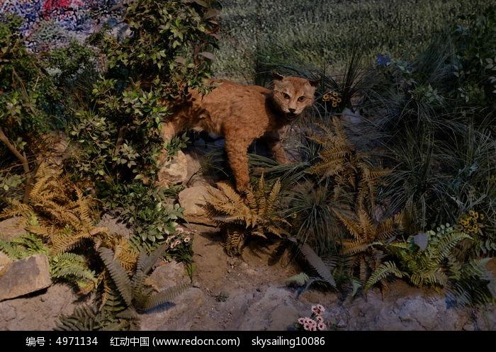 原创摄影图 动物植物 其它生物 小豹猫标本