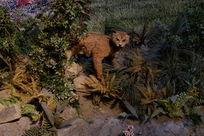 小豹猫标本