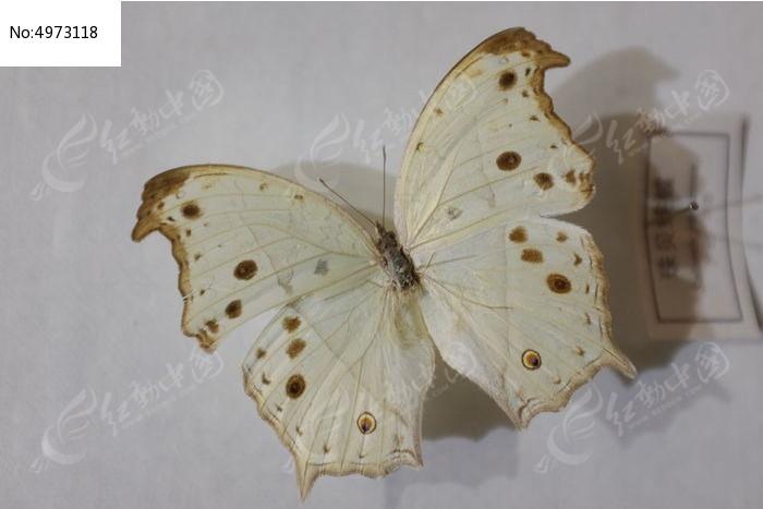 珠贝峡蝶图片,高清大图_动物植物素材