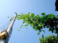 缠绕在电线杆上的绿藤
