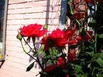 窗前两朵红色月季花