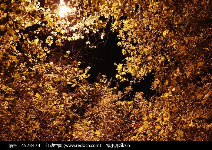 灯光下金黄的梧桐树叶图片