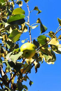 挂在枝头的大鸭梨