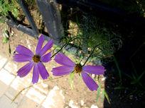 两朵淡紫色的大波斯菊