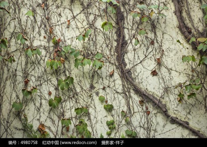 原创摄影图 动物植物 树木枝叶 爬山虎  请您分享: 红动网提供树木