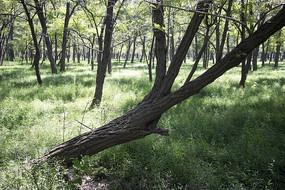 森林中歪倒生长的树