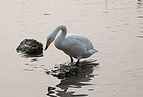 水中发呆的一只天鹅
