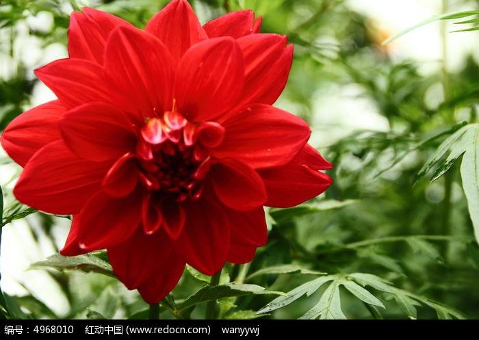 原创摄影图 动物植物 花卉花草 鲜艳的红花