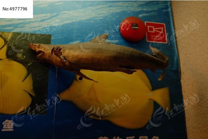 小鲨鱼标本图片,高清大图_动物植物素材