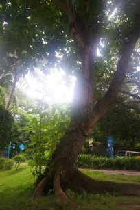 阳光照射下的大树