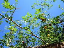 枣熟在秋天